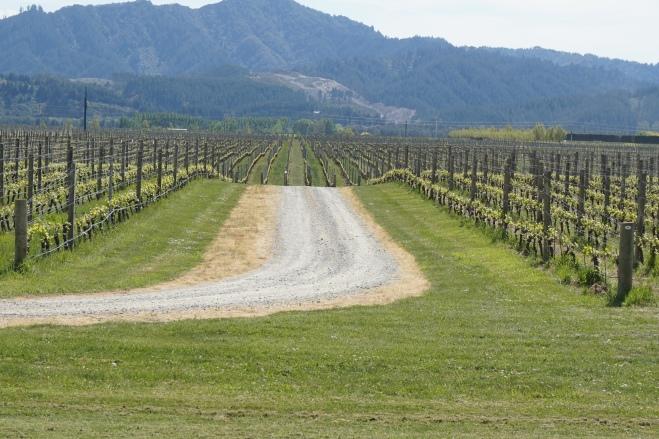 Weingarten in den Marlboroughs