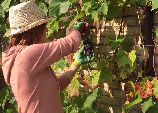 Wein selber machen(1/3)! Von der Lese zurMaische