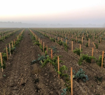 Die Rebstöcke der Winerie wachsen nahe des Schloss Versailles.
