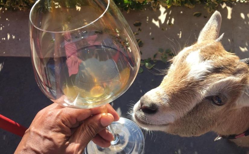 Kroatische Weinreise (1/3): Weinprobe mitZwergziege