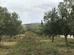 Olivenbäume_Veralda_Kroatien_Istrien_Öl_Buje_Wein